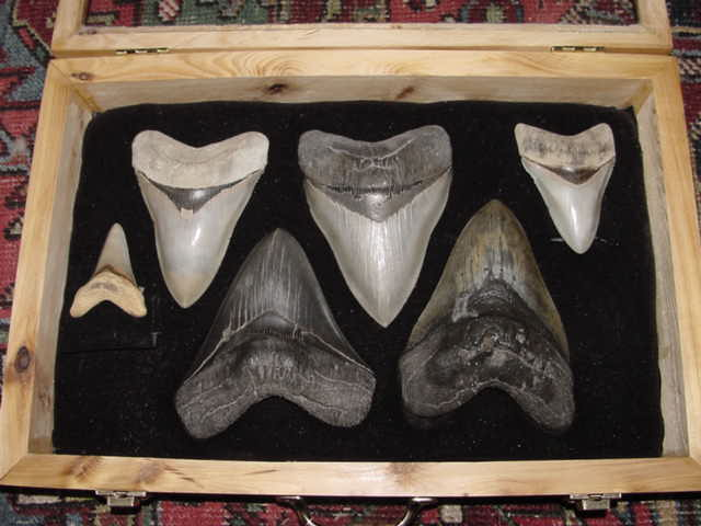 Fossil sharks' teeth (upper middle one, height ~15.5 cm) from pre-Neogene